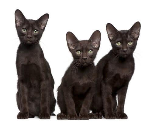 Drie zittende Havana bruine katten