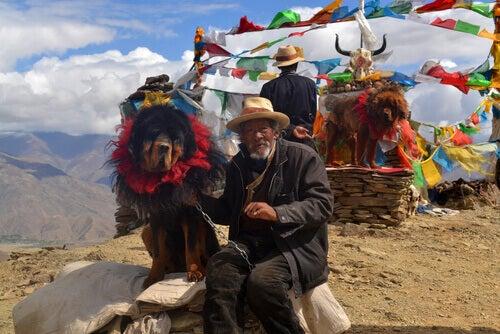 Het trieste verhaal van de duurste hond ter wereld, de Tibetaanse mastiff