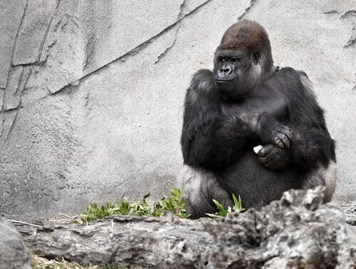 Koko de gorilla, de pratende aap, is overleden