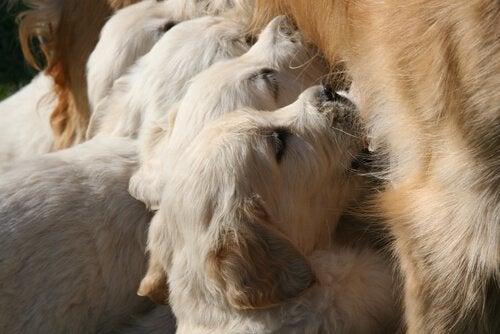 Puppy's die bij hun moeder drinken