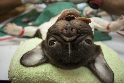 Een hond onder narcose
