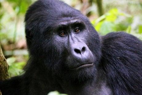 Grote berggorilla met een rond gezicht en mooie bruine ogen