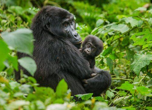 Berrggorilla met jong