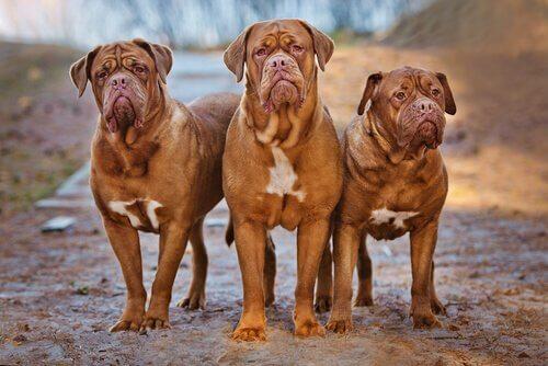 Drie Bordeaux Mastiff