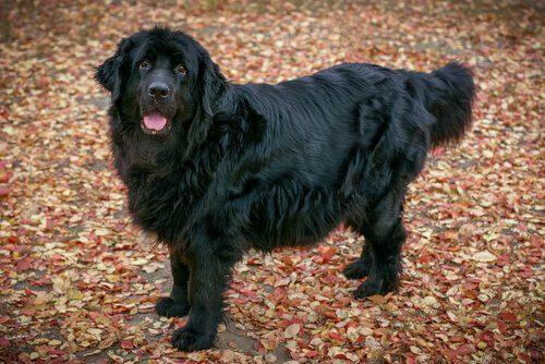De newfoundlander een groot hondenras