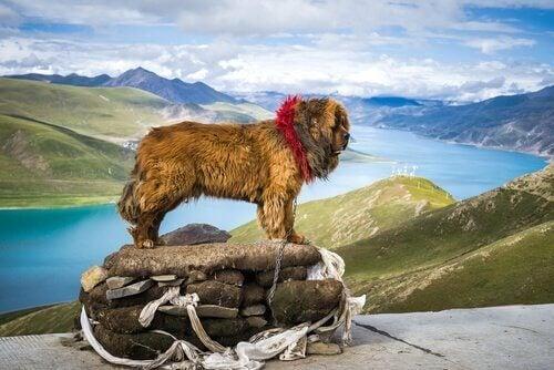 Tibetaanse mastiff op een berg