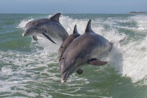 Dolfijnen springen in de zee