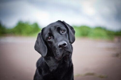 Droevige zwarte hond