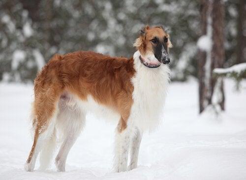 Russische wolfshond