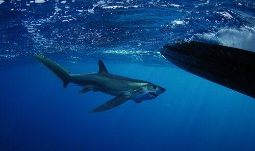Haai die een bril lijkt te dragen