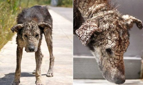 Hond met een ernstig geval van schurft