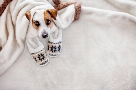 Hond ligt onder een deken