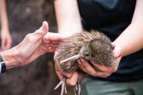 De snipstruis, oftewel de kiwi, is gered van uitsterven