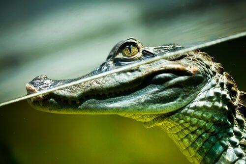 Krokodil die een bril lijkt te dragen