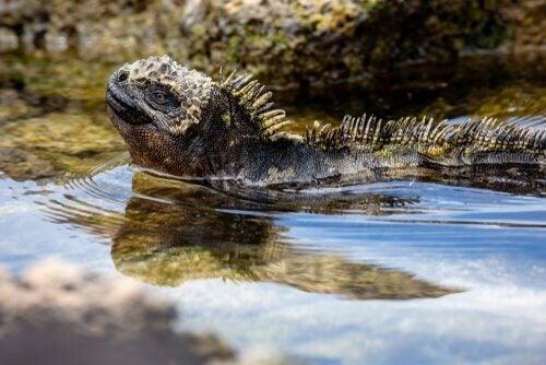 Leguaan op de Galapagoseilanden
