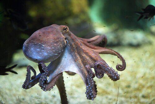 Octopus in het water