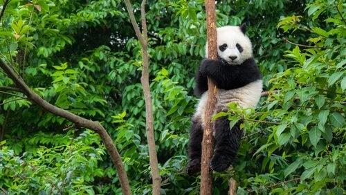 Pandabeer in een boom