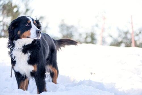 Berner Sennenhond in de sneeuw