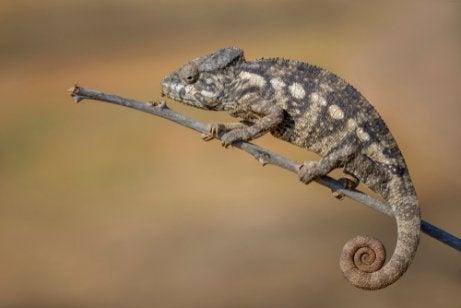 Reuzenkameleon op een takje