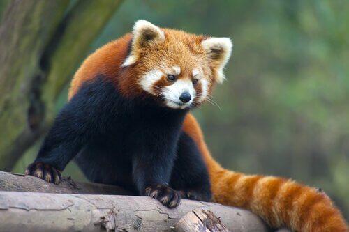 Rode panda op een omgevallen boom