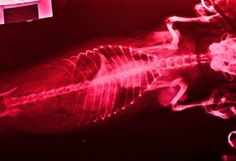 Röntgenfoto van een dier