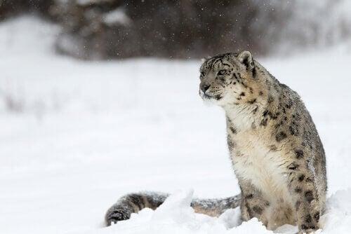 Sneeuwluipaard zittend in de sneeuw in de verte kijkend