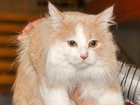 voor-cymric-kat-zorgen