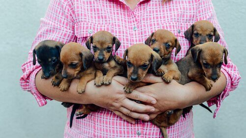 Vrouw houdt zeven puppy's vast