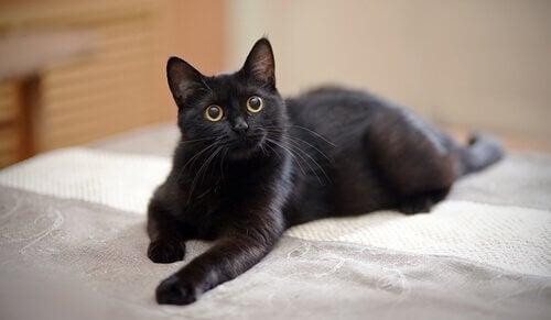 Zwarte kat ligt op bed