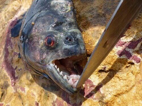 De zwarte piranha