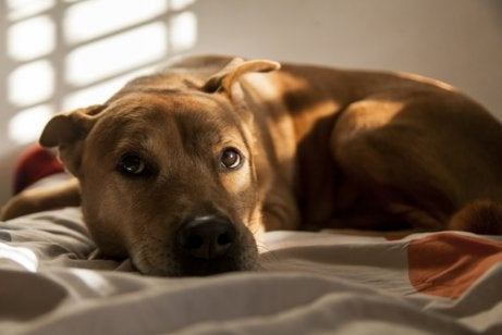 Een bange hond op een deken