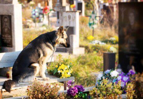 herdershond zit op een begraafplaats