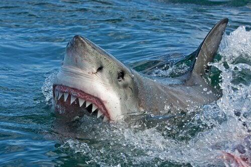 Haai met zijn bek open