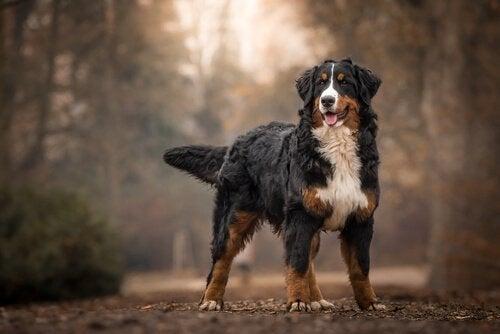 berner sennenhond in het bos