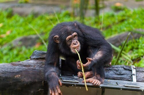 chimpansee met een stok in zijn mond
