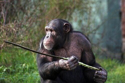Chimpansees in Fongoli met hun speren