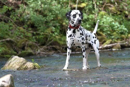 Het populaire en bekende ras de dalmatiër