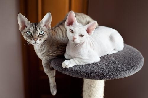 Twee devon rex katten