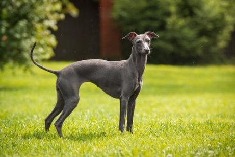 Een greyhound in het gras