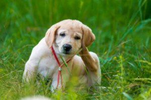hond krabt achter zijn oor