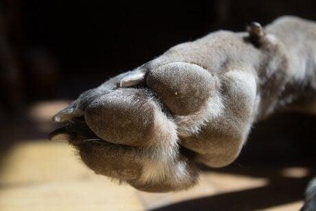 De poot met hubertusklauw van een mastiff