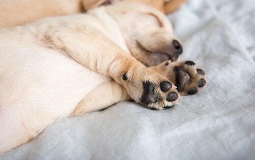 Waarom hebben mastiffs hubertusklauwen?