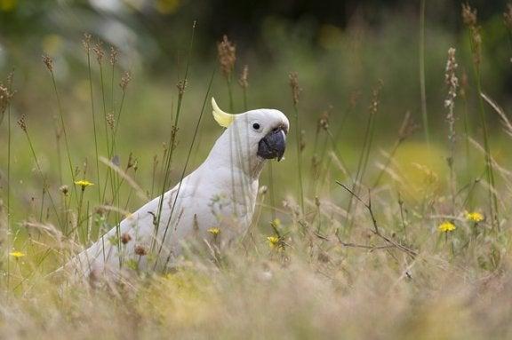 kaketoe in het gras