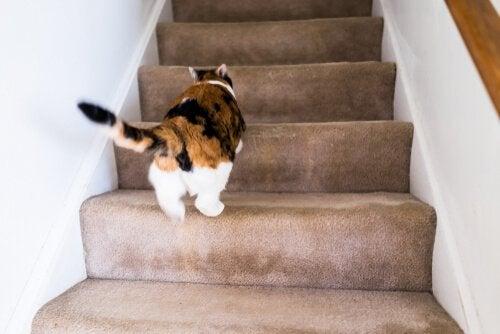 Waarom rent mijn kat als een gek door het huis?