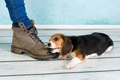 Hond kauwt op schoenen