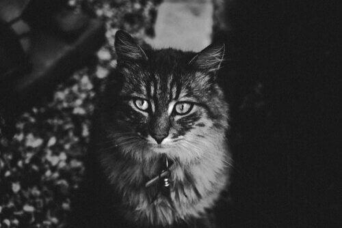 zwart-wit foto van een main coon