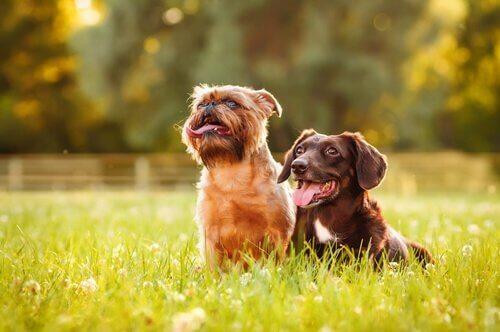 Twee kleine hondjes in het gras
