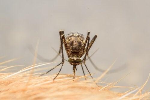 Een mug prikt in de huid van een hond