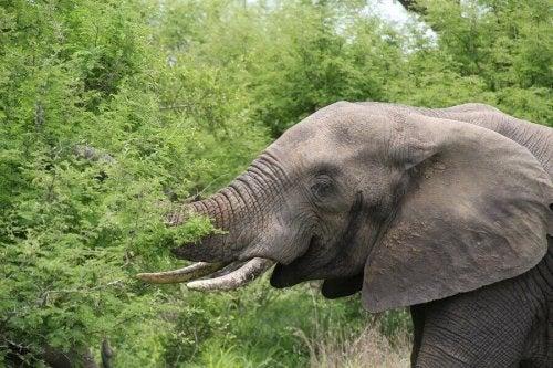 Olifant die van een boom eet
