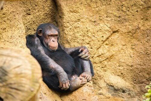 chimpansee zit tegen een rots aan